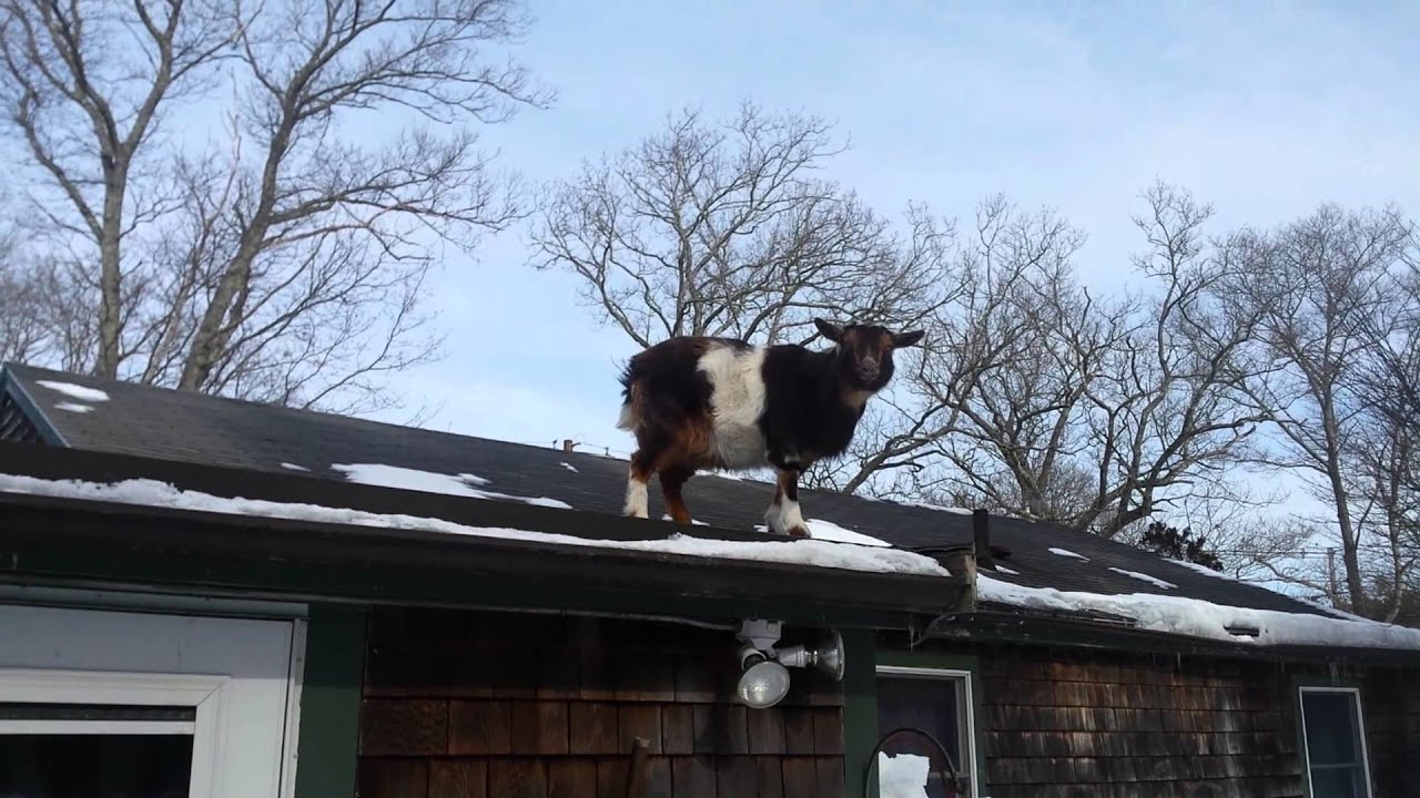 Goat On The Roof?