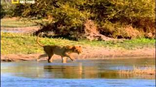 حين يصبح الصياد فريسه ( اسد تنزانيا)