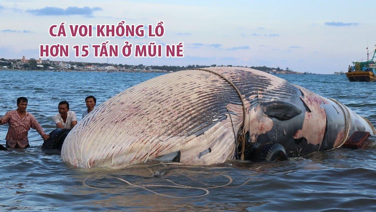 Cá voi khổng lồ hơn 15 tấn lụy vào biển Mũi Né