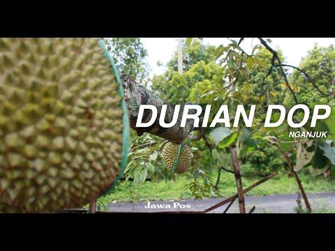 Jawa Pos Belah Durian Episode 15: Durian Dop Nganjuk
