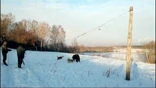 Красноярцев возмутило видео притравки собак на медведя