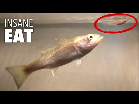 BABY BASS DESTROYS LIVE BAIT ON TOPWATER!!!! (Ultra Slow Motion)