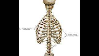 Скелет   опора организма.  Урок биологии.