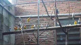 Download Video Ternak Burung Lovebird Agar Cepat Bertelur MP3 3GP MP4