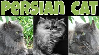Persian Cat Breed Guide – Glamor Cats Of The Feline World | Petmoo