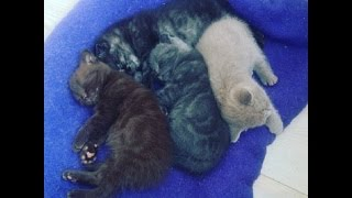 Спят усталые игрушки. Шотландские котята отдыхают. Scottish kittens sleeping.