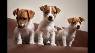 Aso Jack Russel Terrier  Puppy ( small terrier) name nya  Mojackool