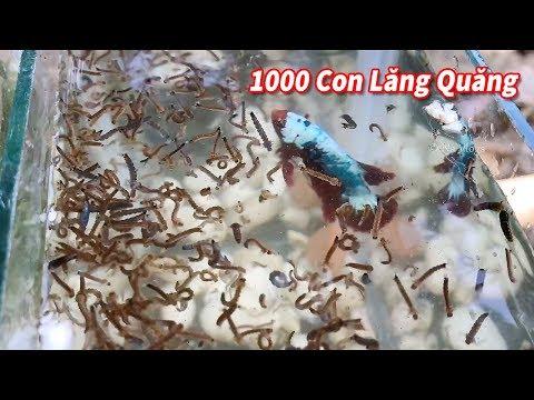 NTN Khi Cá Beta vs 1000 con Lăng Quăng?