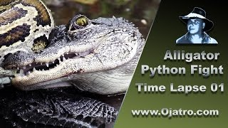 Alligator vs Big Python 01 Time Lapse