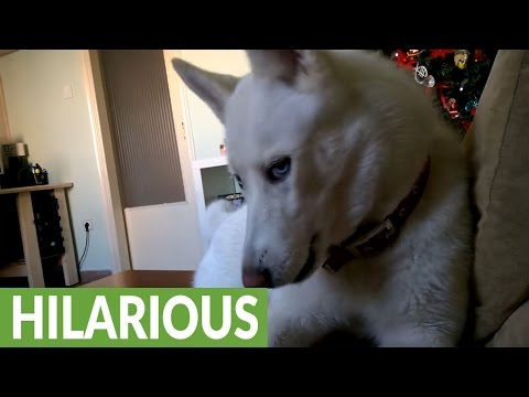 Husky furious when owner steals her spot