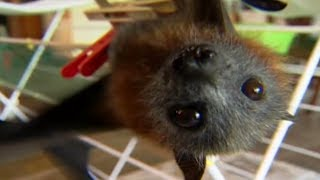 Flying Fox Fairy Tale | Bat Documentary | Natural History Channel