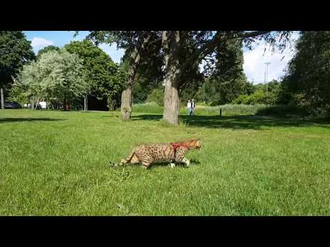 Savannah cat discovering the world