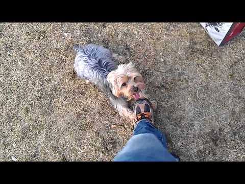 Coco the big Yorkie loves to fetch!
