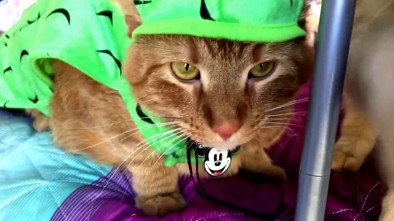 pickle cat!! cat in pickle halloween costume! silly kitties! - youtube