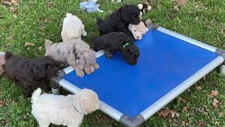 Autumn's Schnoodle puppies  November 6, 2020 This litter is SOLD