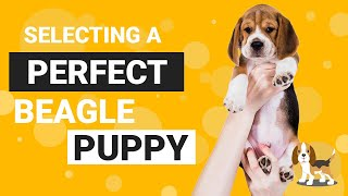 How to Select the Best Beagle Puppy from the Litter