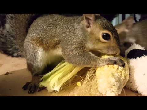 Squirrels eating corn.