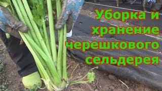 Как сохранить черешковый сельдерей