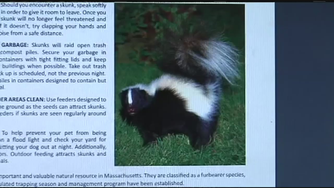 pets beware it u0027s skunk mating season youtube