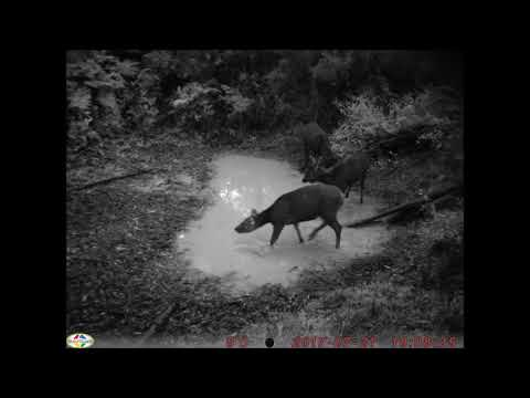 Sambar Deer and Other Wildlife at the Local Waterhole at Night, Victoria Australia