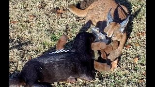 Pet Caracal Cat & Otter in Fun Game