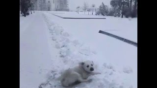 Этот лабрадор никогда не видел снега