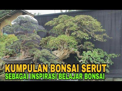KUMPULAN BONSAI SERUT BUATAN INDONESIA