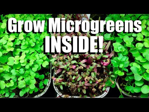 How To Grow Microgreens Inside Indoor Garden 1 Youtube