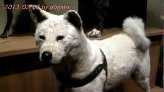 国立科学博物館に忠犬ハチ公の剥製が公開されていると聞きましたので行...