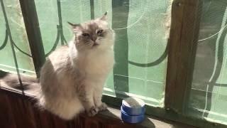 Порода Невская Маскарадная (Сибирская кошка)