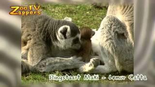 ZooZappers - Ringstaartmaki &  baby