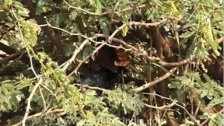Crow Pheasant in Gujarat