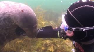 Тюлень просит дайвера почесать ему животик