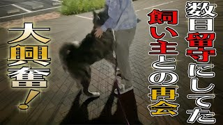【秋田犬】留守にしてた飼い主と数日ぶりの再会!秋馬とお菊の反応は?【大型犬】【akita dog】