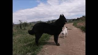 Belgian Sheepdog (Groenendael Belgian Shepherd).