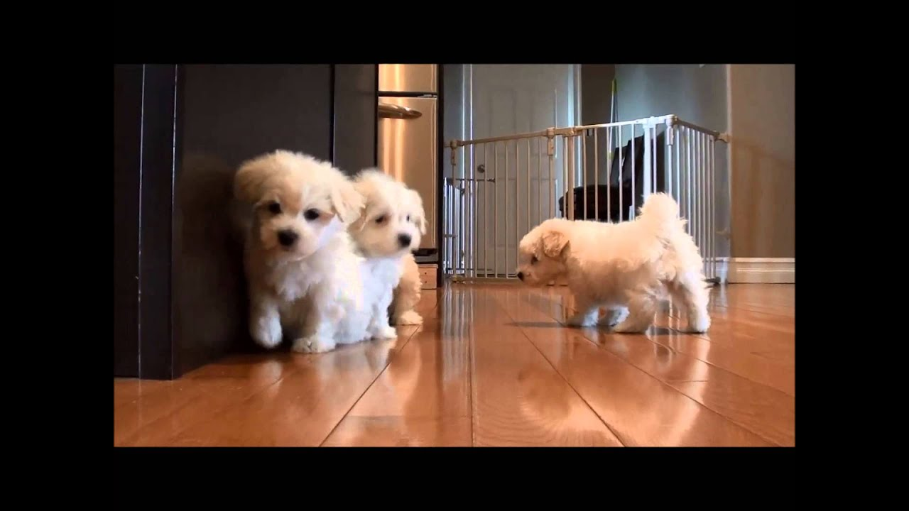 coton de tulear puppies for sale june 2 2015 have all found homes