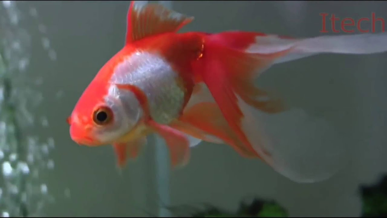 Fantail Goldfish Aquarium Fish - YouTube