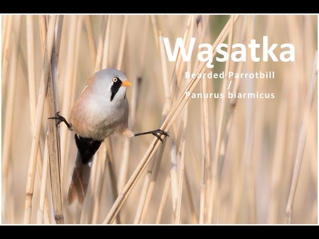 Wąsatka / Bearded Parrotbill / Panurus biarmicus | fotografuj #zemną
