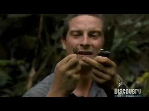 Bear Grylls Eats Giant Beetle