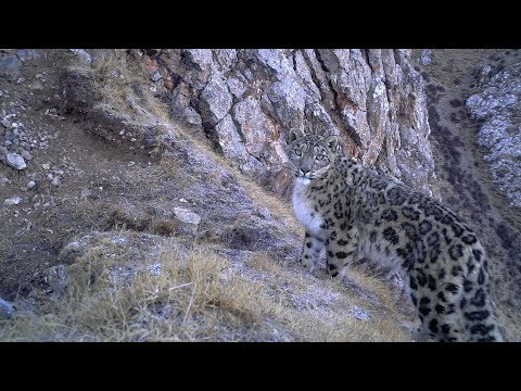 Protectors of the Plateau I: The 'Necklaces of Death' threatening the Snow Leopards' survival