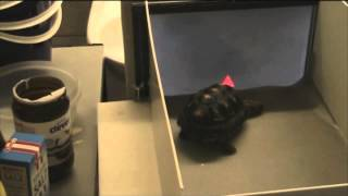 tortoise with a touchscreen tests testudine perception   video