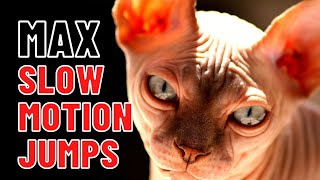 Sphynx Cats [Slow Motion Jumps] Max the Sphynx