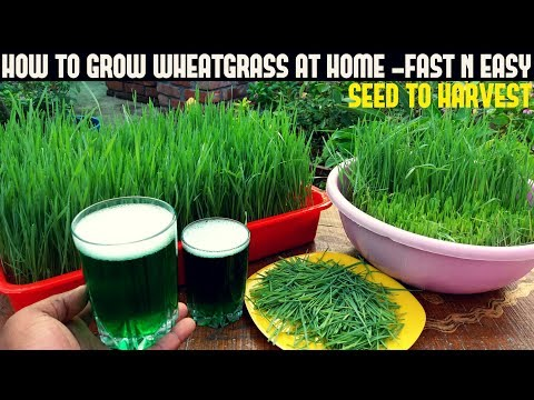 How To Grow Wheatgrass At Home | Full Information With Updat