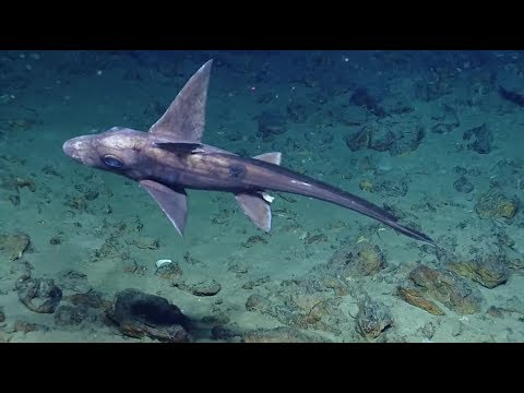 Акула-химера или акула-призрак