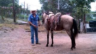 caballo bronco