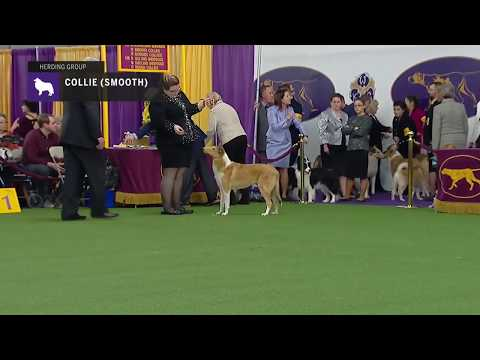 Collies (Smooth) | Breed Judging 2019