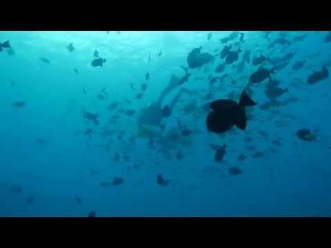 black triggerfish mob