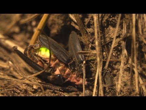Die Glühwürmchen Leuchten - Leuchtkäfer Bei Der Paarung