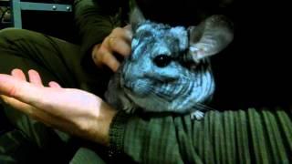 Шиншиленок Флуни очень любит сидеть на руках