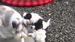 Miniature Schnauzer Puppies First Time Outside -  December 2nd, 2012